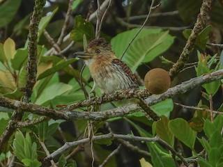 - Western Striolated-Puffbird