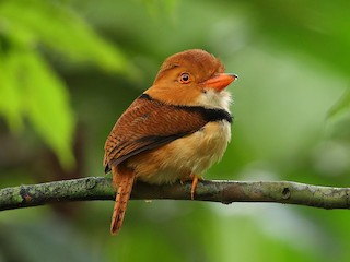 - Collared Puffbird