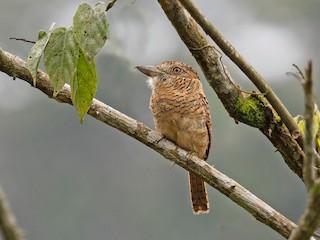 - Barred Puffbird