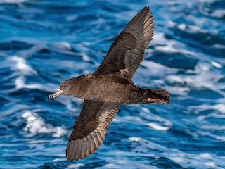 - Flesh-footed Shearwater