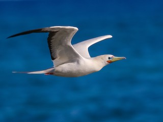 - Red-footed Booby