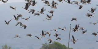 Greater White-fronted Goose, ML309334741