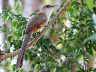 - Great Lizard-Cuckoo