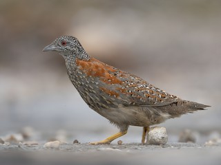 - Painted Buttonquail