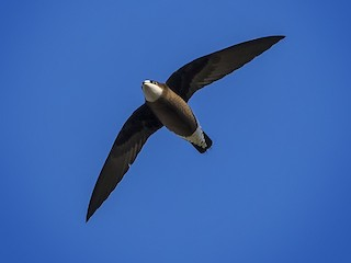 - White-throated Needletail