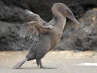 - Flightless Cormorant