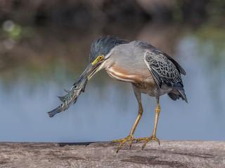 - Striated Heron