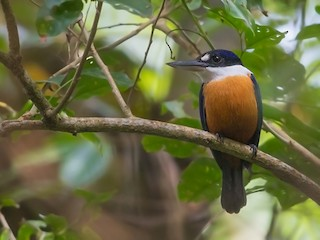 - Vanuatu Kingfisher