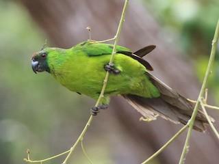 - Ouvea Parakeet
