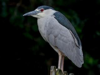 - Black-crowned Night-Heron