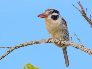 - White-eared Puffbird