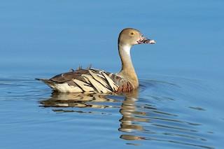 Plumed Whistling-Duck, ML310124821