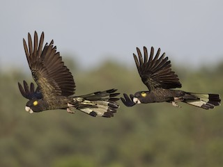 - Yellow-tailed Black-Cockatoo