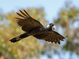 - Baudin's Black-Cockatoo