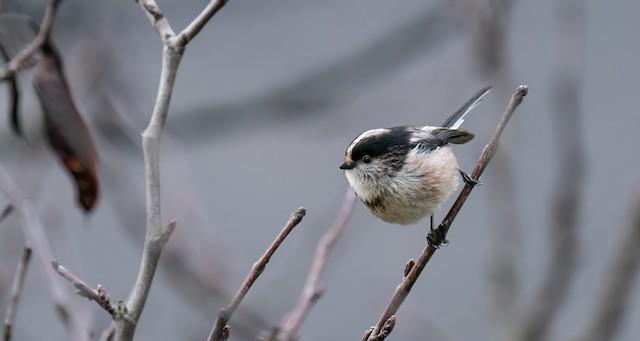 ©Rui Pereira - Long-tailed Tit