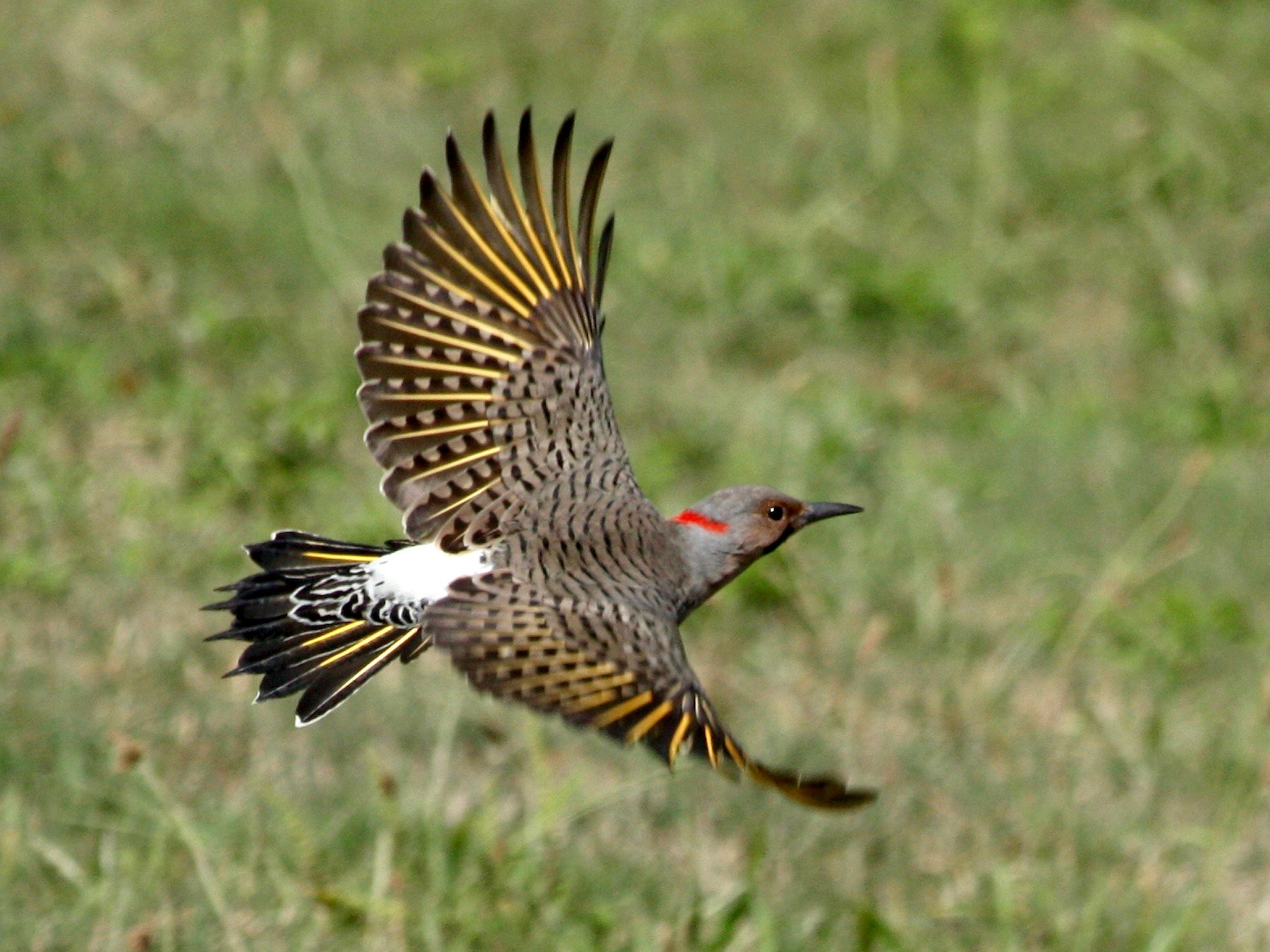 Northern Flicker - Loyan Beausoleil