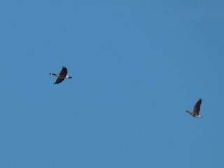 Cackling Goose, ML310469671