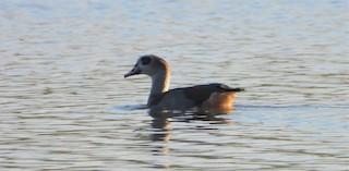 Egyptian Goose, ML310527071