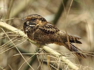 - Silky-tailed Nightjar