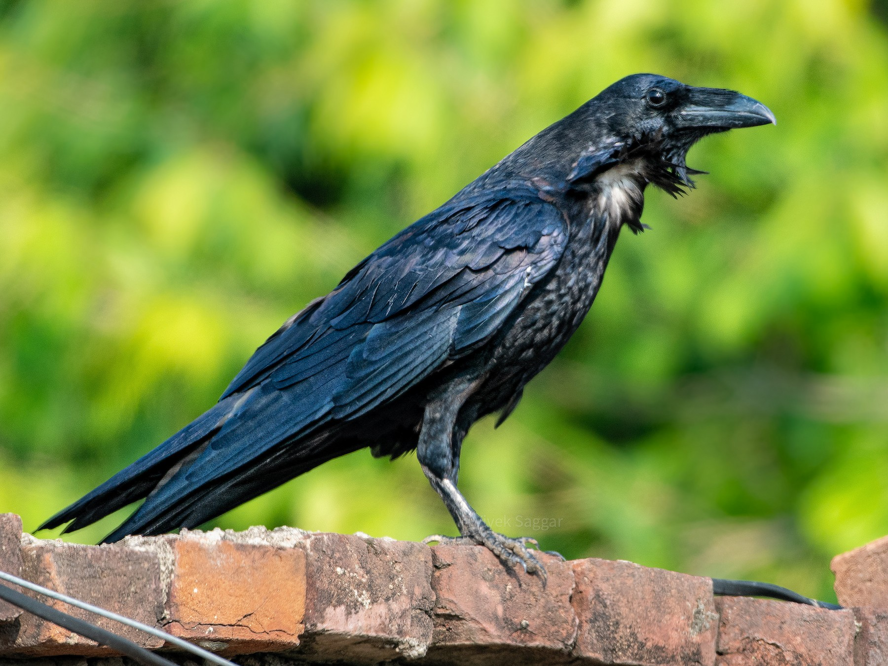 Common Raven - Vivek Saggar