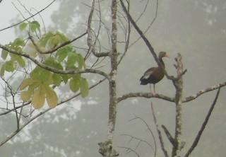 Black-bellied Whistling-Duck, ML31079991
