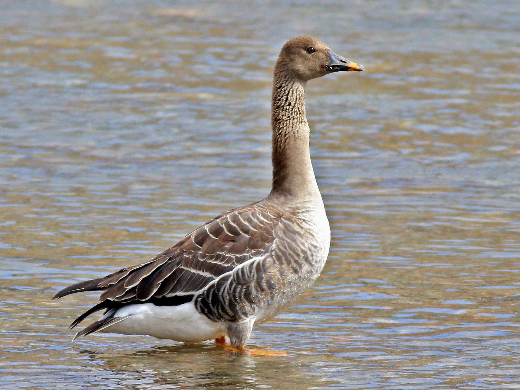 Taiga Bean-Goose - 白尾 海雕