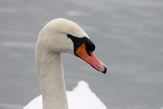 Mute Swan, ML310886041