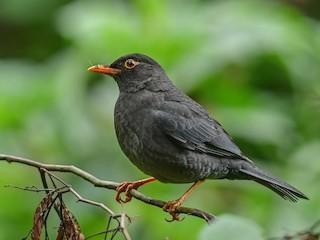 - Indian Blackbird