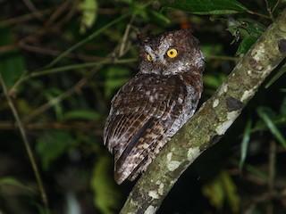 - Luzon Scops-Owl