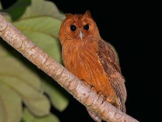 - Jamaican Owl