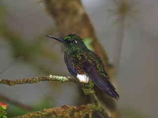 - Colorful Puffleg