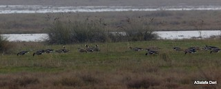 Lesser White-fronted Goose, ML311132891