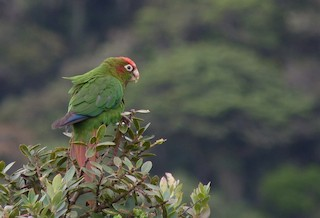 - Rose-headed Parakeet