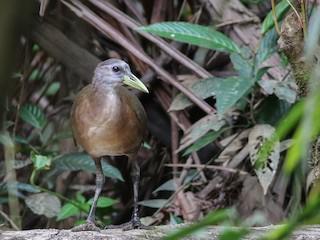 - New Guinea Flightless Rail