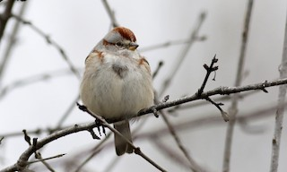 - American Tree Sparrow