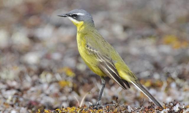 ©Gerrit Vyn - Eastern Yellow Wagtail