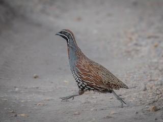 - Madagascar Partridge
