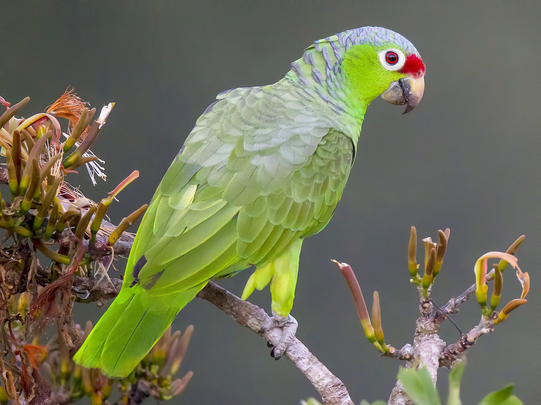 Red-lored Parrot - Paul Jones