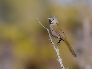 - Western Whipbird (Black-throated)