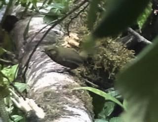 - Papuan Whipbird