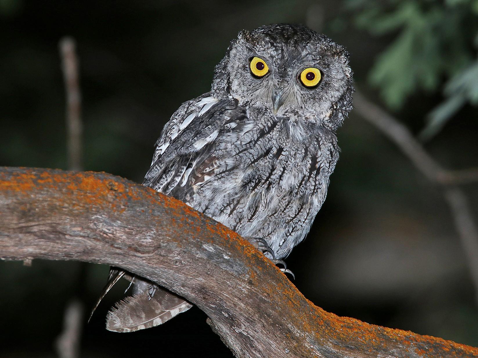 Western Screech-Owl - Tim Avery