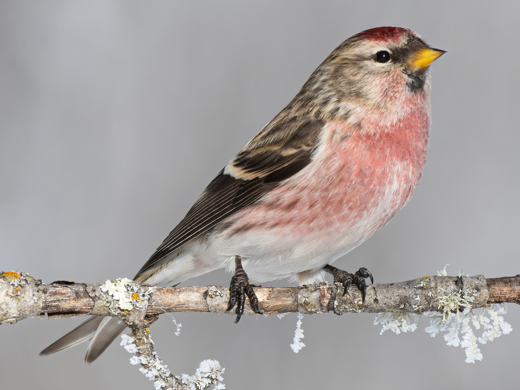 Common Redpoll - Mollie Langdon