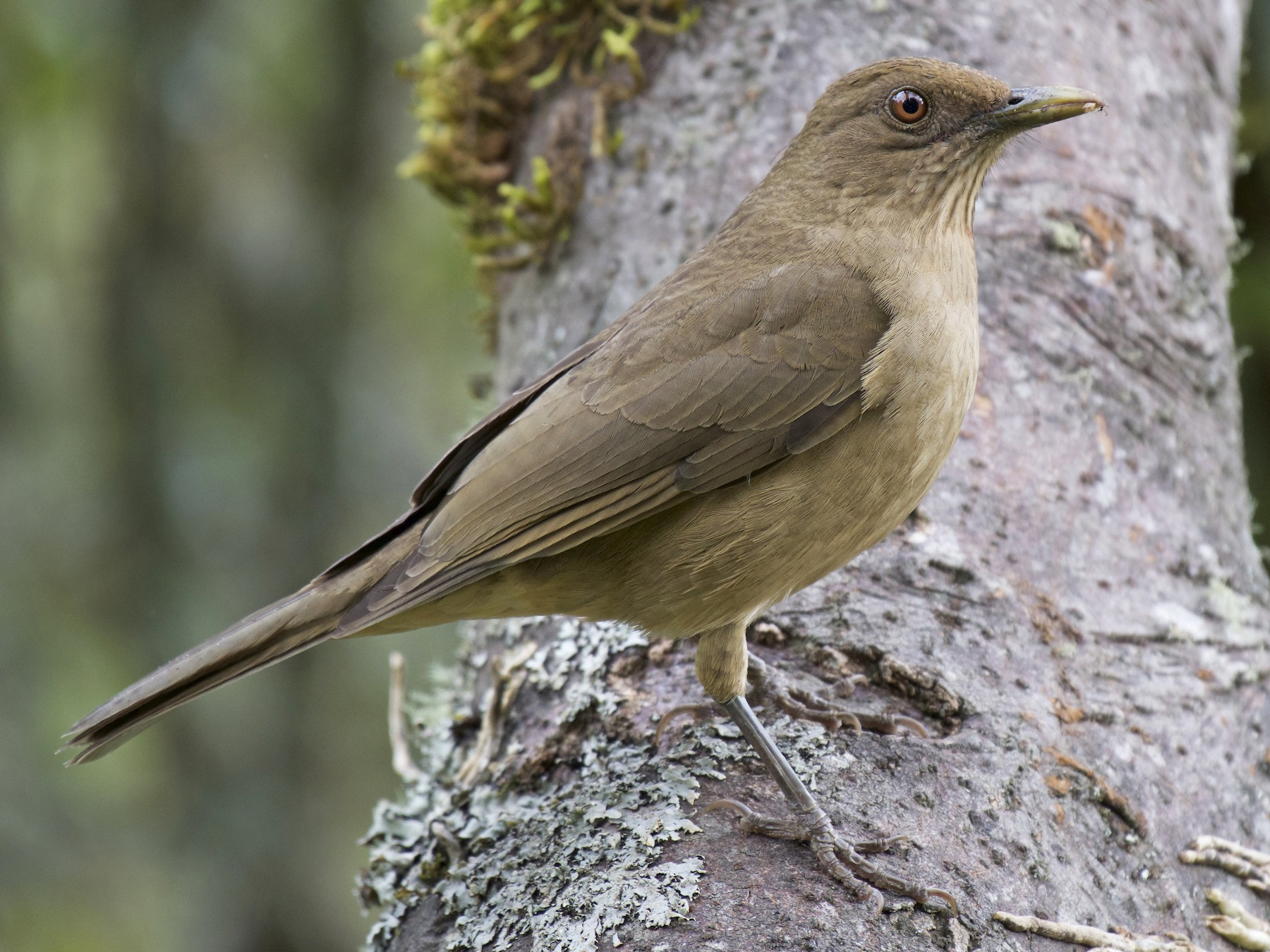 Clay-colored Thrush - Josiah Verbrugge