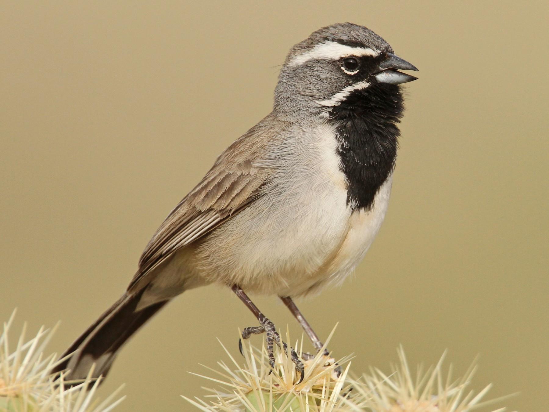 Black-throated Sparrow - Luke Seitz