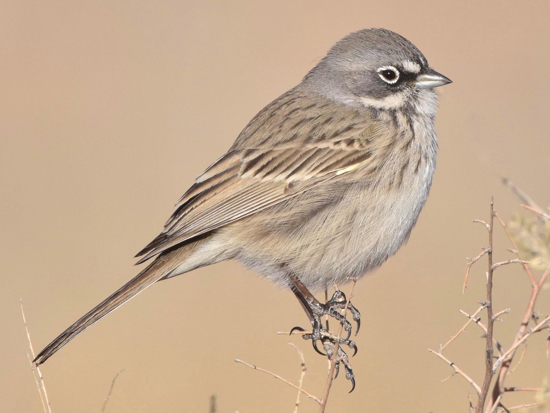 Sagebrush Sparrow - Marky Mutchler