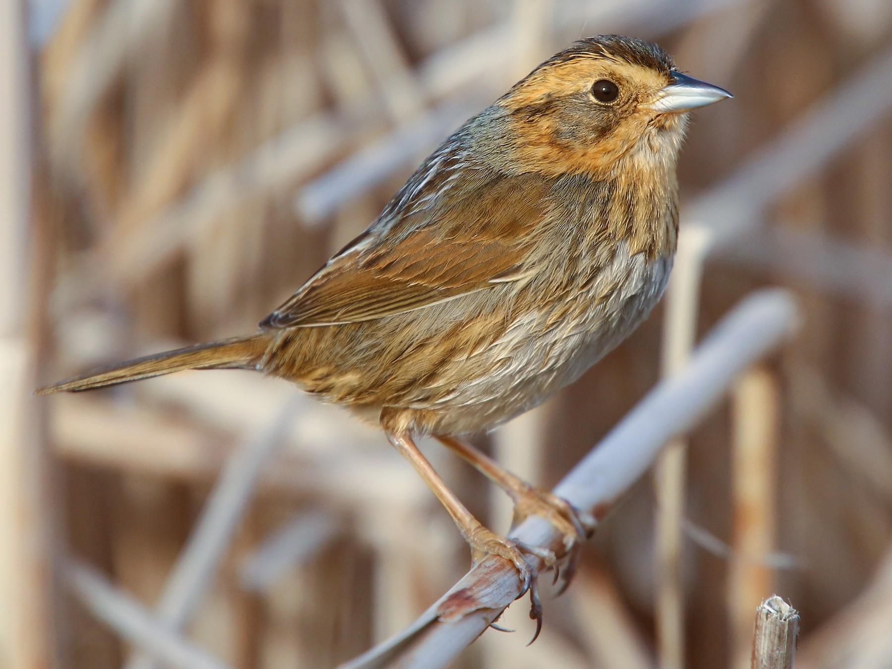 Nelson's Sparrow - Luke Seitz