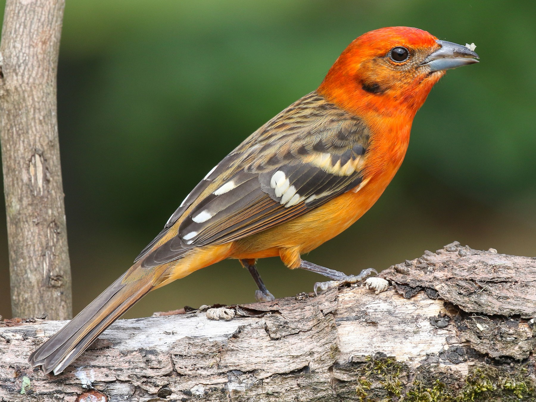 Flame-colored Tanager - Blair Dudeck