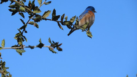Western Bluebird - Lena Hayashi