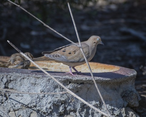 Mourning Dove - James Kendall