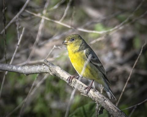 Lesser Goldfinch - James Kendall